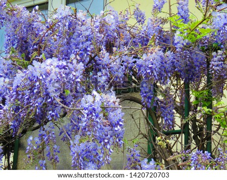 flowers of Chinese wisteria, Wisteria sinensis, #1420720703