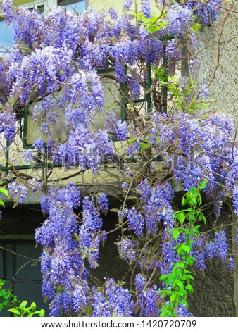 flowers of Chinese wisteria, Wisteria sinensis, #1420720709