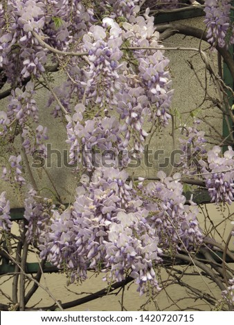 flowers of Chinese wisteria, Wisteria sinensis, #1420720715
