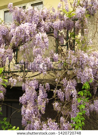 flowers of Chinese wisteria, Wisteria sinensis, #1420720748