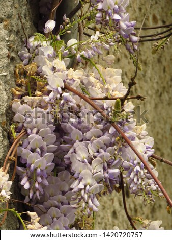 flowers of Chinese wisteria, Wisteria sinensis, #1420720757