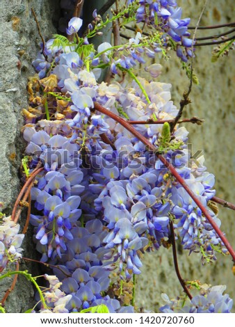 flowers of Chinese wisteria, Wisteria sinensis, #1420720760