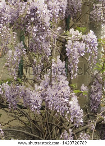 flowers of Chinese wisteria, Wisteria sinensis, #1420720769