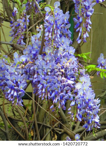 flowers of Chinese wisteria, Wisteria sinensis, #1420720772