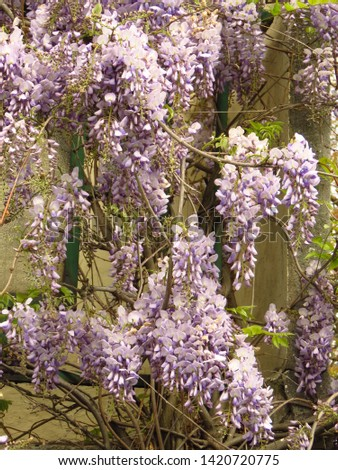 flowers of Chinese wisteria, Wisteria sinensis, #1420720775