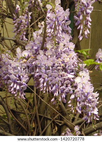 flowers of Chinese wisteria, Wisteria sinensis, #1420720778