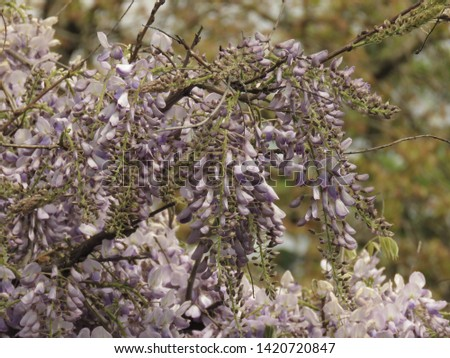 flowers of Chinese wisteria, Wisteria sinensis, #1420720847
