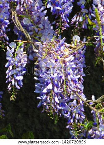 flowers of Chinese wisteria, Wisteria sinensis, #1420720856