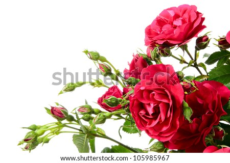 Flowers of climbing rose on a white background #105985967