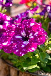 Flowers of colorful Constellation virgo petunia plant with white dots close up