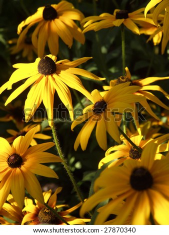 Flowers of cone-flower (Compositae, Rudbeckia)