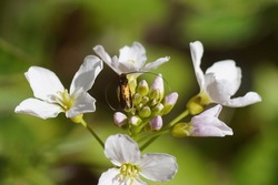 Flowers of cuckooflower, Cardamine pratensis. Family Brassicaceae. With a longhorn moth Cauchas rufimitrella, family Adelidae. Dutch garden, spring, May, Netherlands