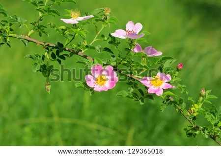 Flowers of dog-rose (rosehip) growing in nature