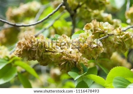 Flowers of Elms, Karagach. Elm Tree, fruits of the elm tree