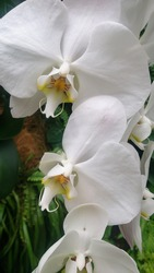 Flowers of graceful white orchids, close-up. Delicate curved petals, yellow center. The background is green leaves.
