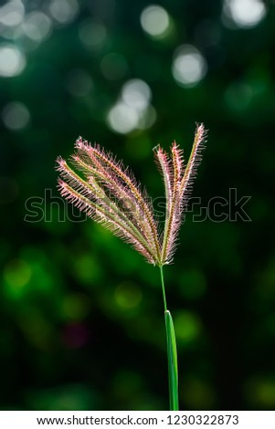 Flowers of grass with stamens and stamens protruding with ovary tube. #1230322873
