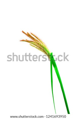 Flowers of grass with stamens and stamens protruding with ovary tube. #1241693950