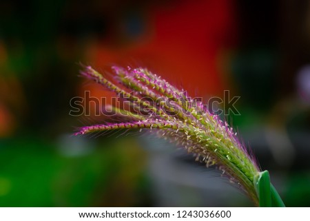 Flowers of grass with stamens and stamens protruding with ovary tube. #1243036600