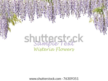 "Flowers of Japanese wisteria forming ""curtains"" on a pure white background. Copy space."