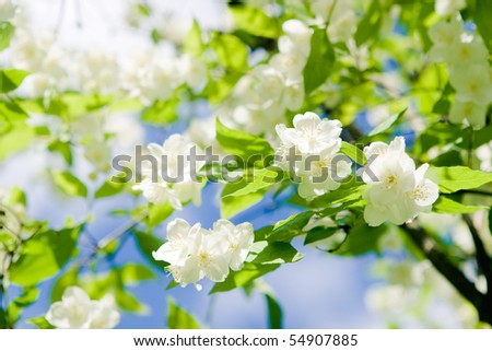Flowers of jasmin