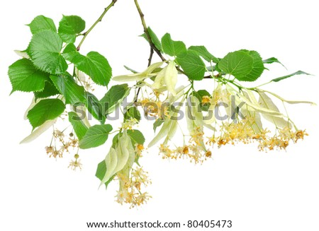 Flowers of linden-tree on a white background