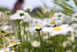 Flowers of marguerite with yellow centers and long white petals are blooming in a spring sunny day.
