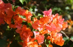 Flowers of Martinique. Exotic Flower on green bush. Blooming tropical garden detail. Bright tropical flower in greenery. Blossom closeup. Beautiful flora of Martinique island.
