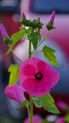 flowers of pink Lavatera (malvaceae), or annual, rose, royal or regal Mallow in garden close up. Gardening floriculture concept
