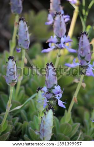 Flowers of Plectranthus neochilus (lobster bush, fly bush, or mosquito bush)  #1391399957