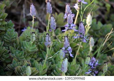 Flowers of Plectranthus neochilus (lobster bush, fly bush, or mosquito bush)  #1391399960