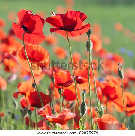 Flowers of poppy with selective focus. Colors of june, poppy field against sunlight. Beautiful nature background.