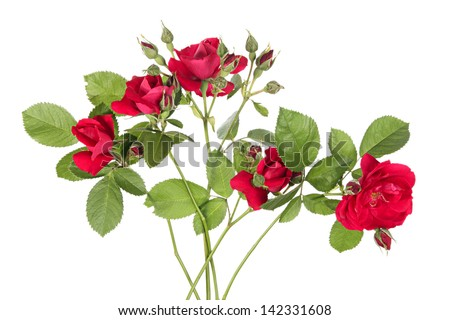Flowers of rambling rose on a white background