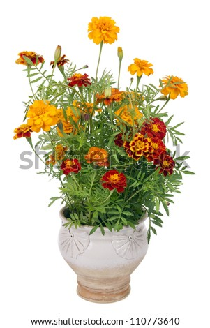 Flowers of Saffron  (Tagetes)  bush - used as a spice and medicinal plant- in simlpe rural mass production ceramic pot.   Isolated - stock photo