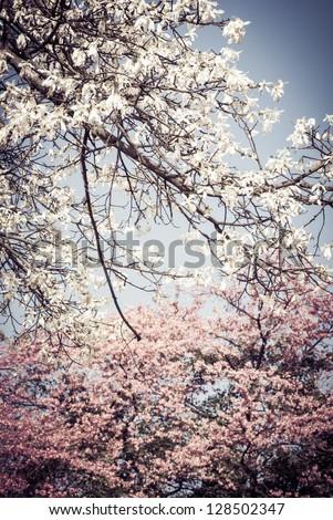 flowers of silk floss tree, Ceiba insignis, Chorisia Speciosa