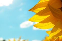 flowers of sunflowers in the field. sunflowers farm field with blue sky