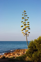 Flowers of the american Agave plant on blue sky. Century plant, Maguey, or American aloe (Agave americana)
