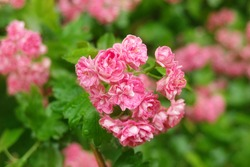 Flowers of the double pink hawthorn or Crataegus oxyacantha rosea Plena, close-up. Garden after rain