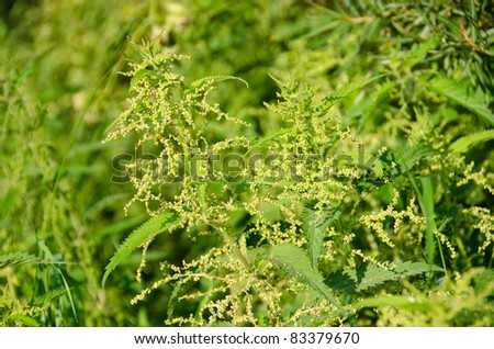 Flowers of the Stinging nettle, Urtica dioica