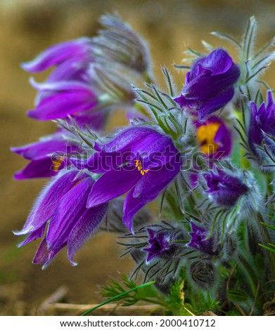 Flowers of the Windflower or Pulsatilla Patens.First spring blooming flower, purple plant macro, dream grass Stok fotoğraf ©