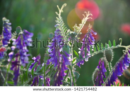 Flowers of Vicia cracca on the meadow