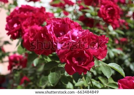 Flowers of wild rose #663484849