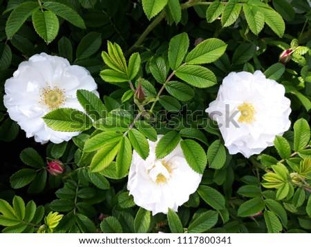 Flowers of Wild rose, Rosa Rugosa or Rosa alba semiplena, in the garden.