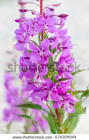 flowers of Willow-herb Ivan-tea on blurred background in autumn