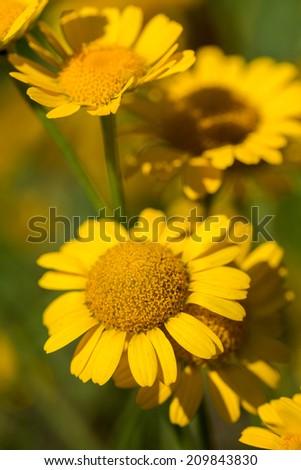 flowers of yellow camomiles in garden - Shutterstock ID 209843830
