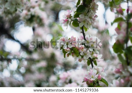 Flowers on the apple tree, pink colored, photoshoot with helios lens, flowerful bokeh, autumn garden #1145279336