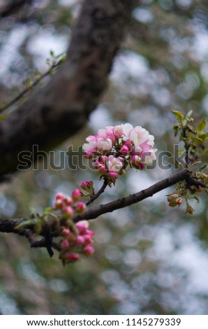 Flowers on the apple tree, pink colored, photoshoot with helios lens, flowerful bokeh, autumn garden #1145279339