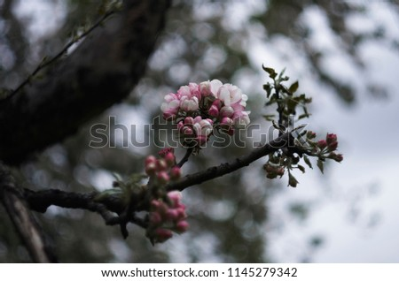 Flowers on the apple tree, pink colored, photoshoot with helios lens, flowerful bokeh, autumn garden #1145279342