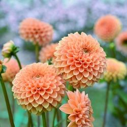 Flowers orange dahlia