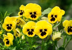 Flowers pansies bright yellow colors with a dark mid-closeup