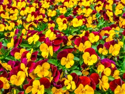 Flowers pansy top down beautiful field of green grass close up blurred as background in the nature yellow and red color, panorama.